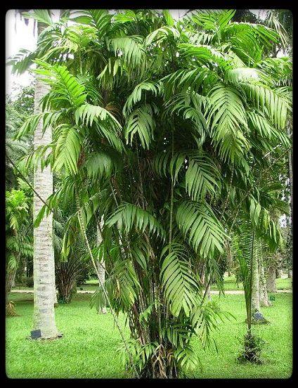 murumuru palm